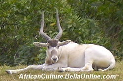 Addax resting during the day